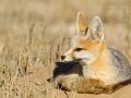 Kapfuchs, Cape Fox, Vulpes chama