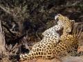 Leopard, Leopard, Panthera pardus