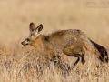 Löffelhund, Bat-eared Fox, Otocyon megalotis