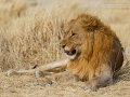 Löwe, Lion, Panthera leo