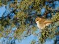 Maricoschnäpper, Mariqua Flycatcher, Melaenornis mariquensis