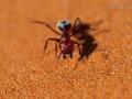 Namib-Dünenameise