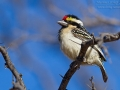 Rotstirn-Bartvogel, Pied Barbet, Tricholaema leucomelas