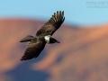 Schildrabe, Pied Crow, Corvus albus