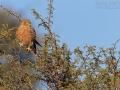 Steppenfalke, Greater Kestrel, Falco rupicoloides