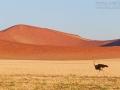 Strauß, Ostrich, Struthio camelus