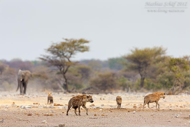 Tüpfelhyäne, Spotted hyena, Crocuta crocuta