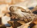 Schneesperling, Schneefink, Snow Finch, White-winged Snow Finch, Montifringilla nivalis, Niverolle alpine, Niverolle, Gorrión Nival, Gorrión Alpino