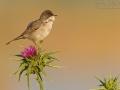 Tamariskengrasmücke, Menetries's Warbler, Menetries' Warbler, Sylvia mystacea, Sylvia mystacea ssp rubescens, Sylvia mystacea rubescens, Fauvette de Ménétries, Curruca Caucásica