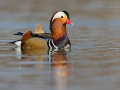 Mandarinente, Mandarin Duck, Aix galericulata
