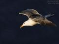 Mantelmöwe, Great Black-backed Gull, Greater Black-backed Gull, Larus marinus, Goéland marin, Gavión Atlántico