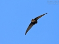 Mauersegler, Common Swift, Swift, Eurasian Swift, Apus apus, Martinet noir, Vencejo Común