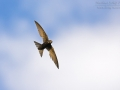 mauerseglMauersegler, Common Swift, Swift, Eurasian Swift, Apus apus, Martinet noir, Vencejo Comúner_mk2n_54039