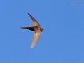 Mauersegler, Common Swift, Swift, Eurasian Swift, Apus apus, Martinet noir, Vencejo Común