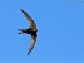 mauersMauersegler, Common Swift, Swift, Eurasian Swift, Apus apus, Martinet noir, Vencejo Comúnegler_mk4_10533