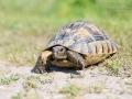 Maurische Landschildkröte / Spur-thighed Tortoise / Testudo graeca
