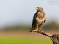 Mäusebussard, Common Buzzard, Buteo buteo