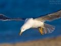 Mittelmeermöwe, Western Yellow-legged Gull, Larus cachinnans michahellis