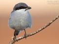 Mittelmeerwürger, Mittelmeer-Raubwürger, Raubwürger Unterart meridionalis, Southern Grey Shrike,