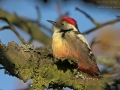 Mittelspecht, Middle Spotted Woodpecker, Dendrocopos medius, Picoides medius, Pic mar, Pico Mediano