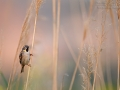 Moabsperling, Dead Sea Sparrow, Passer moabiticus, Moineau de la mer Morte, Gorrión del Mar Muerto