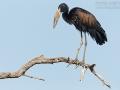 Mohrenklaffschnabel, African Open-bill Stork, African Openbill, Anastomus lamelligerus