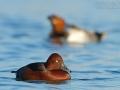 Moorente, Ferruginous Duck, Aythya nyroca