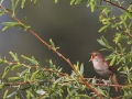 Rufous Nightingale, Nightingale, Common Nightingale, Luscinia megarhynchos, Rossignol philomèle, Ruiseñor Común