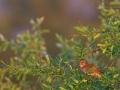 Nachtigall, Common Nightingale, Luscinia megarhynchos
