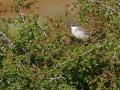 Eastern Orphean Warbler, Sylvia crassirostris, Orpheusgrasmücke, Östliche Orpheusgrasmücke, Nachtigallengrasmücke