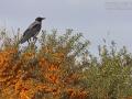 Nebelkrähe, Northern Carrion Crow, Corvus corone cornix