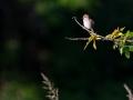 Neuntöter, Red-backed Shrike, Lanius collurio