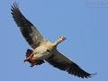 Nilgans, Egyptian Goose, Alopochen aegyptiacus