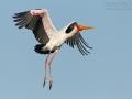 Nimmersatt, Yellow-billed Stork, Mycteria ibis