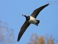 Nonnengans, Barnacle Goose, Branta leucopsis