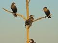 Ohrenscharbe, Double-crested Cormorant, Phalacrocorax auritus, Cormoran à aigrettes, Cormorán Orejudo