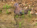 Palmtaube, Laughing Dove, Palm Dove, Streptopelia senegalensis, Tourterelle maillée, Tourterelle de Sénégal, Tórtola Senegalesa
