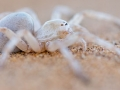 white_lady_spider_5dmk3_05770