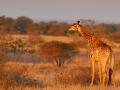 giraffe_mk4_42489_bis_42497