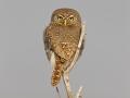 Perlkauz, Pearl-spotted Owlet, Glaucidium perlatum