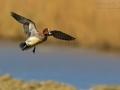 Pfeifente, Eurasian Wigeon, Wigeon, European Wigeon, Anas penelope, Mareca penelope, Canard siffleur, Silbón Europeo