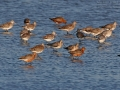 Pfuhlschnepfe, Bar-tailed Godwit, Limosa lapponica, Barge rousse, Aguja Colipinta