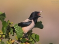Rosenstar, Rose-coloured Starling, Sturnus roseus