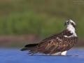 Fischadler, Osprey, Pandion haliaetus
