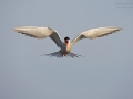 Flußseeschwalbe, Common Tern, Sterna hirundo
