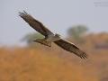 Habichtsadler, Bonelli's Eagle, Hieraaetus fasciatus