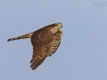 Sperber, Northern Sparrowhawk, Accipiter nisus