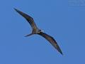 Prachtfregattvogel, Magnificent Frigatebird,  Magnificent Frigate Bird, Fregata magnificens,  Frégate superbe, Rabihorcado Magnífico
