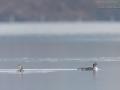 Prachttaucher, Arctic Loon, Gavia arctica