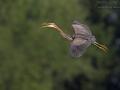 Purpurreiher, Purple Heron, Ardea purpurea